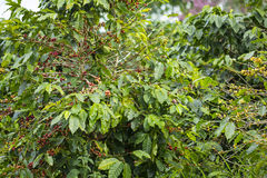 Coffee tree Stock Photos