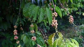 Coffee tree Royalty Free Stock Photography