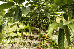Coffee tree. The well known coffee tree of Sumatra island in Indonesia Stock Image