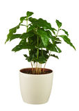 Coffee tree (Arabica Plant) in flower pot isolated on white back Royalty Free Stock Photo