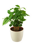 Coffee tree (Arabica Plant) in flower pot isolated on white back Stock Image
