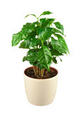 Coffee tree (Arabica Plant) in flower pot isolated on white back Stock Photo