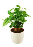 Coffee tree Arabica Plant in flower pot isolated on white back Stock Photo