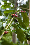 Coffee tree, beans Royalty Free Stock Photography