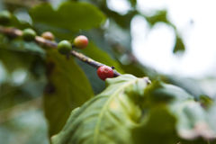 Coffee tree, beans Stock Images