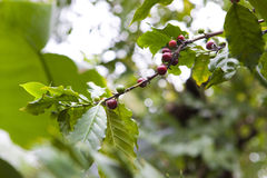 Coffee tree, beans Royalty Free Stock Photo