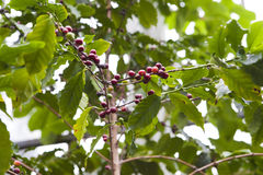 Coffee tree, beans Stock Image