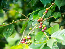 The coffee tree. Royalty Free Stock Images