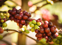 Coffee Tree with Beans Royalty Free Stock Photo