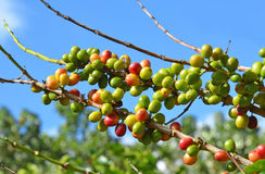 Coffee tree beans Royalty Free Stock Images