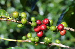 Coffee tree beans Royalty Free Stock Photo