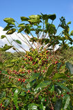 Coffee tree beans Royalty Free Stock Photography