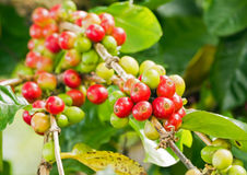Coffee tree with berries Royalty Free Stock Photography