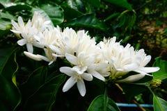 Coffee tree blossom Stock Photography