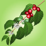 Coffee tree branch with flowers, berries and leaves. Coffee tree branch with flowers and berries on a green background Stock Images