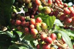 Coffee Tree Branches. Filled with colorful cherries Stock Photos