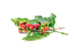 Coffee tree branches filled with red and green  berries Royalty Free Stock Photos