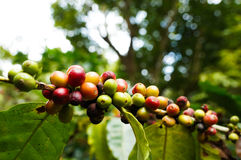Coffee tree Royalty Free Stock Images