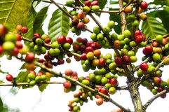 Coffee tree. Coffe tree in the garden Royalty Free Stock Photography