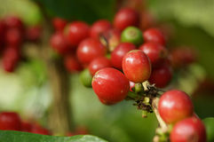 Coffee tree. Coffe tree in the garden Stock Photography