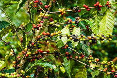 Coffee tree Stock Images