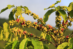 Coffee tree with coffee bean Royalty Free Stock Photography