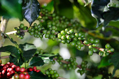 Coffee tree with coffee beans in coffee plantation Stock Images