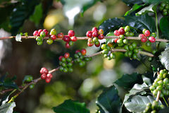 Coffee tree with coffee beans in coffee plantation Royalty Free Stock Photos