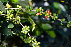 Coffee tree with coffee beans in coffee plantation Stock Image