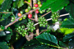 Coffee tree with coffee beans in coffee plantation Stock Photos