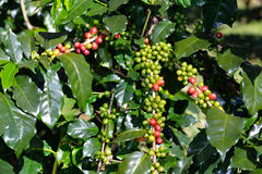 Coffee tree with coffee beans in coffee plantation Stock Photo