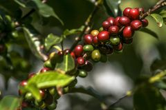 Coffee tree. Coffee beans on coffee tree, in Brazil Royalty Free Stock Photo