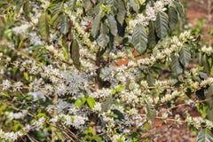 Coffee tree, coffee flower stock images
