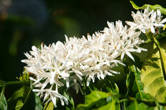 Coffee tree,  coffee flower Royalty Free Stock Images