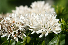 Coffee tree,  coffee flower Royalty Free Stock Photo