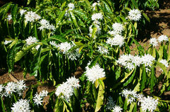 Coffee tree,  coffee flower Stock Photography