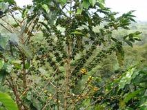 Coffee tree Royalty Free Stock Photos