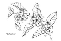 Coffee tree drawing and sketch. Coffee tree drawing and sketch with line-art on white backgrounds vector illustration