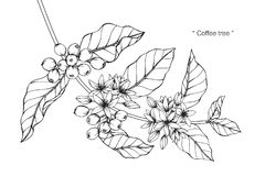 Coffee tree drawing and sketch. Coffee tree drawing and sketch with line-art on white backgrounds royalty free illustration