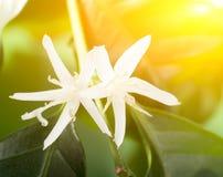 Coffee tree flowers Royalty Free Stock Image