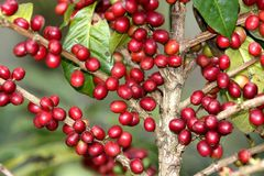 coffee tree Royalty Free Stock Photo