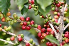 Coffee tree. Fresh coffee tree stock photo