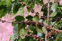 Coffee tree Stock Photos