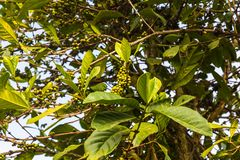 Coffee tree with fruits. Coffee tree with green fruits, Dalat, Vietnam royalty free stock photo