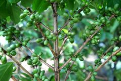 Coffee tree with green coffee beans Royalty Free Stock Photography