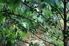 Coffee tree with green coffee beans Stock Photo