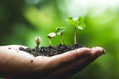 Coffee tree Growing Planting seeds In nature rainy season.  stock image