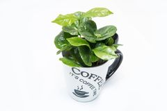 Coffee tree growing from the porcelain cup royalty free stock images