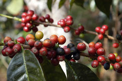 Coffee-tree, Guatemala 17 Stock Photography