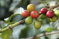 Coffee-tree. Guatemala. The fruit of the coffee tree, fresh berries still on the branch.  Antigua Guatemala Stock Photo